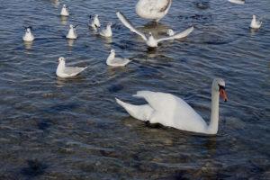 Лебеди в бухте Омега в Севастополе зимой