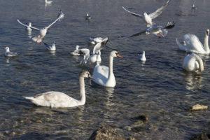 Лебеди и чайки в бухте Омега в Севастополе