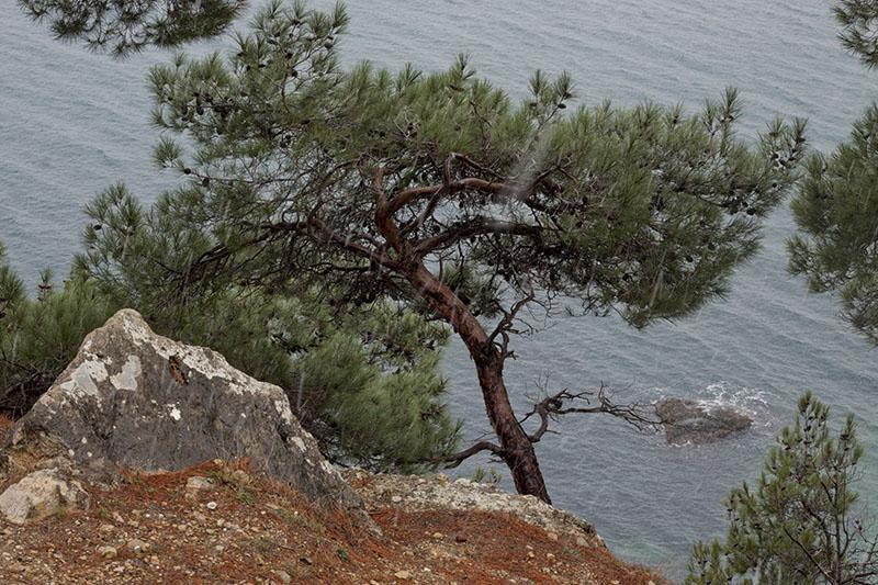 Сосна на Солнечной тропе в Балаклаве в Крыму