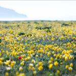 Дикие тюльпаны Шренка в Крыму