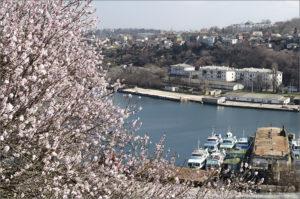 Цветущий миндаль в Севастополе в Крыму