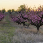 Персиковые сады в Крыму