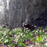 Подснежники на горе Аю-Даг в Крыму
