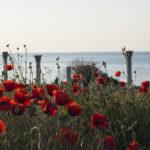 Маки в Херсонесе в Крыму