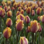Бал тюльпанов в Никитском ботаническом саду в Крыму