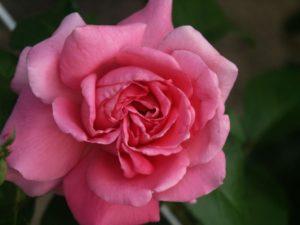 Роза в Никитском ботаническом саду в Крыму