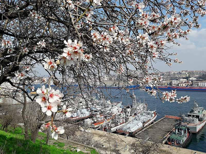 В Севастополе цветет миндаль