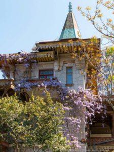 Глициния цветет в Крыму
