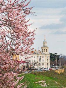Миндаль цветет в Севастополе