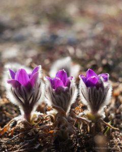 Сон-трава цветет в горах Крыма