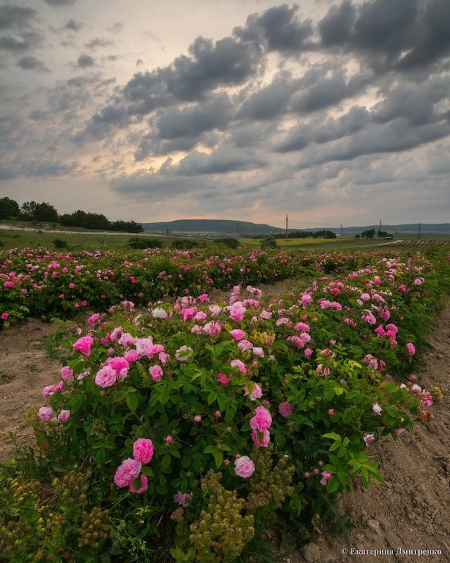 Поле роз в Крыму