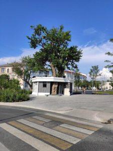Дерево на площади Ушакова в Севастополе