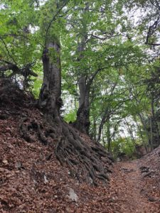 Корни деревьев на Таракташской тропе